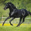 Stock Photo: Black horse runs gallop in summer