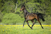 Bay horse runs trot in freedom — Stock Photo