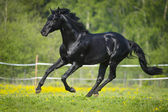 Black horse runs gallop in summer — Stock Photo