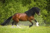 Baía cavalo de esboço pesado vladimir jogando no prado — Fotografia Stock