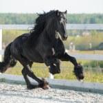 Black Friesian horse runs gallop in summer — Stock Photo #35902057