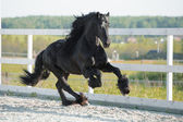 Black Friesian horse runs gallop in summer — Stock Photo