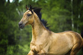 Golden horse akhal-teke portrait in motion in summer — Stock Photo