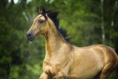 Golden horse akhal-teke portrait in motion in summer — Stock Photo