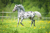 Appaloosa horse runs trot on the meadow in summer time — Stock Photo