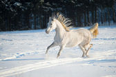 White horse runs on the snow — Stock Photo