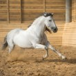 White horse runs gallop in the manege — Stock Photo #46797567
