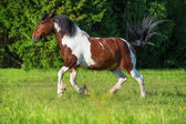 Paint horse runs gallop on freedom — Stock Photo
