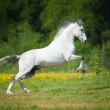 White horse playing on the meadow — Stock Photo