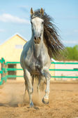 White Andalusian horse portrait in motion — Stock Photo