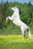 White horse rearing up on the meadow — Stock Photo