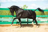 Black Russian trotter horse portrait in motion in paddock — Stock Photo