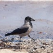 Hooded crow — Stock Photo