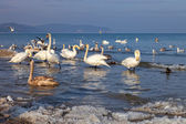Swans at sea — Stockfoto