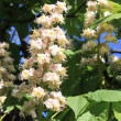 Stock Photo: Horse chestnut
