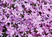 Phlox subulata — Zdjęcie stockowe