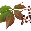 Stock Photo: Parthenocissus close up