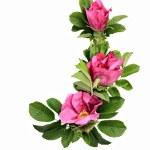 Wild rose (Dog rose) — Stock Photo #13761957