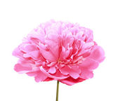 Peony on a white background — Stock Photo