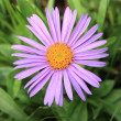 Aster alpinus - Stock Photo