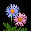Two colorful daisies — Stock Photo