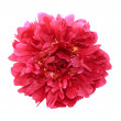 Stock Photo: Peony close up