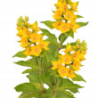 Stock Photo: Loosestrife