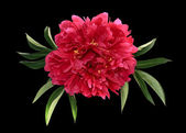 Big peony with leaves — Stock Photo