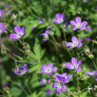 geranium sylvaticum — Stock Photo
