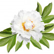 Stock Photo: White peony with leaves