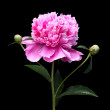 Stock Photo: Peony on black background