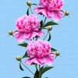 Stock Photo: Peonies on blue background