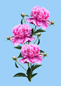 Peonies on a blue background — Stock Photo