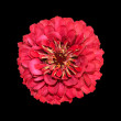 Red zinnia — Stock Photo