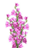 Bouquet of pink bells — Stock Photo