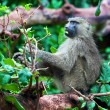 Baboon monkey in African bush — Stock Photo