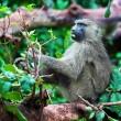 Baboon monkey in African bush — Stock Photo #18595579