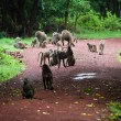 Baboon monkeys in African bush - Stock Photo