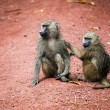 Baboon monkeys in African bush — Stock Photo #18595599