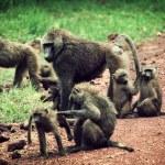 Baboon monkeys in African bush — Stock Photo #18595615