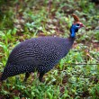 The wild Helmeted Guineafowl in Africa - Stock Photo