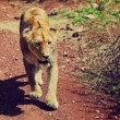 Female lion walking. Ngorongoro, Tanzania — Stock Photo