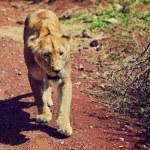 女狮步行。恩坦桑尼亚 — 图库照片