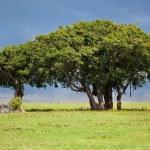 在大草原上的树。恩,坦桑尼亚,非洲 — 图库照片