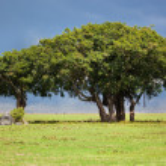 Baum auf Savannah. Ngorongoro, Tansania, Afrika — Stockfoto