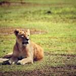 donna leone sdraiato. Ngorongoro, tanzania — Foto Stock