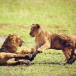 Small lion cubs playing. Tanzania, Africa - Stock Photo
