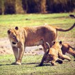 Small lion cubs with mother. Tanzania, Africa — Stock Photo
