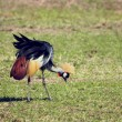 Grey Crowned Crane. The national bird of Uganda - Stockfoto