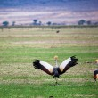 Grey Crowned Crane. The national bird of Uganda - Stok fotoğraf